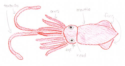 Giant Squid diagram